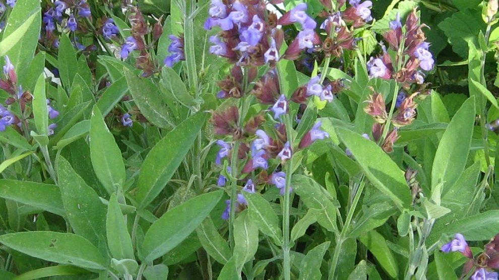kadulja biljka cvjetovi